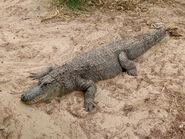 1280px-Alligator mississippiensis - Oasis Park - 06
