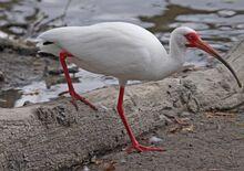 American White Ibis.jpg