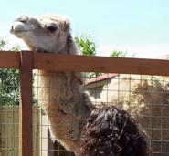 Animal Adventure Park Dromedary