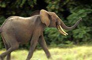Cameroon Elephants
