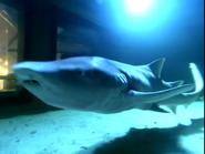 Canberra Zoo Nurse Shark