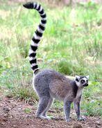 Male Ring-Tailed Lemur