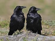 Male and Female Ravens