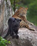 Male and female Indian leopards
