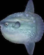 Ocean Sunfish NH