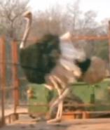 Scout's Safari Ostrich