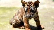 South China tiger cub