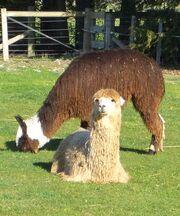 Suri-alpaca.jpg