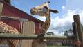 Zoo World Panama Giraffe