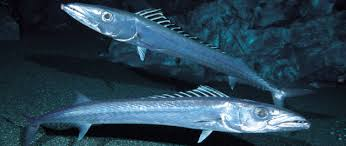 Blacksail Snake Mackerel