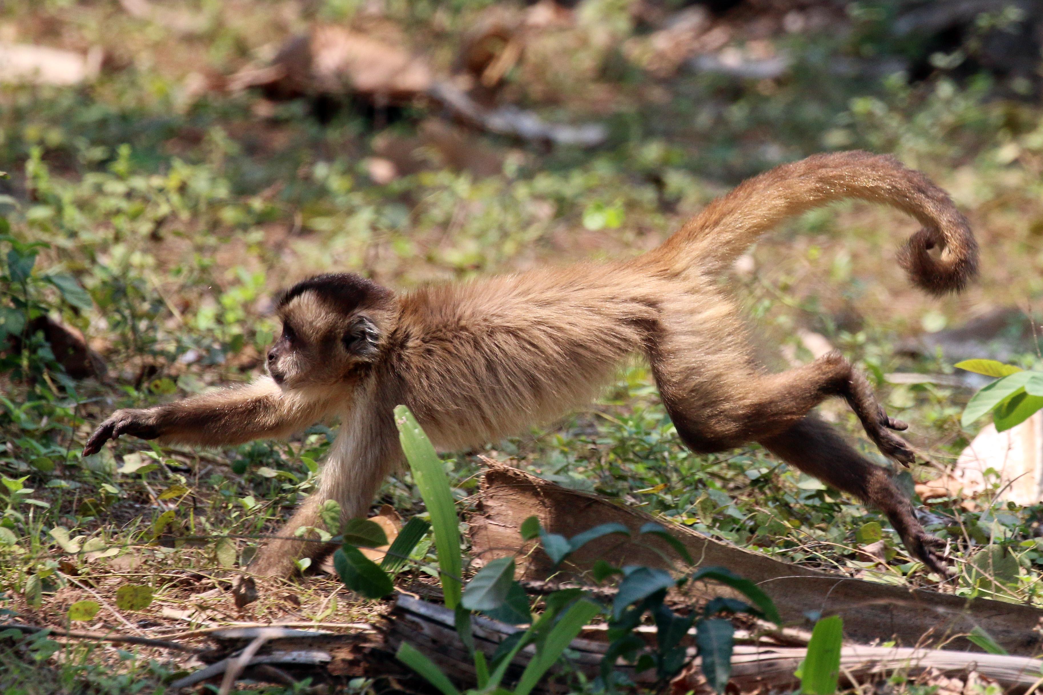 Bearded Capuchin