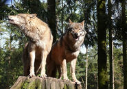 Eastern Wolves (Male and Female)