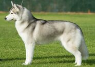 Husky, Siberian