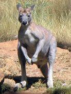 Kangaroo, Antilopine