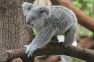 Koala, Queensland