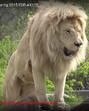 Tronto Zoo Lion