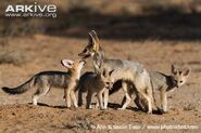Cape-fox-adult-with-young-at-den