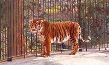 Caspian-tiger-images.jpg