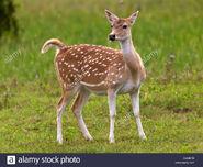 Chital fawn