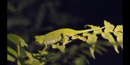 EOL Chameleon
