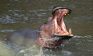 Hippo6