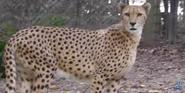 Memphis Zoo Cheetah