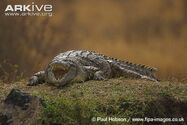 Nile-crocodile