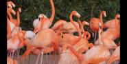 SDZ TV Series Flamingos