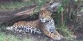 San Antonio Zoo Jaguar