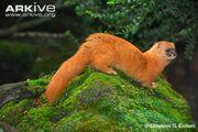Siberian-weasel.jpg
