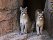 Two Mountain Lions