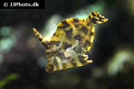 Blacklined Filefish