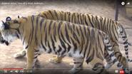 Animal Atlas Tiger