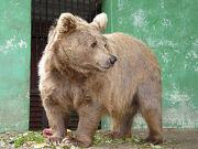 Bear, Himalayan Brown.jpg