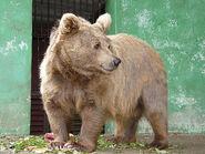 Bear, Himalayan Brown