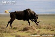 Black-wildebeest-charging