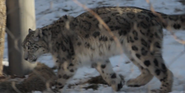 Blank Park Zoo Snow Leopard