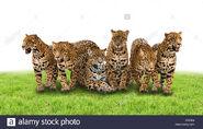 Brazilian Jaguars