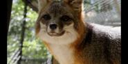 CITIRWN Fox