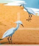 EMWCA Snowy Egret