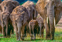 East African Bush Elephant Herd