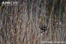 Female-black-grouse-in-bush.jpg