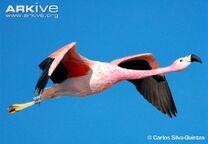 Flamingo, Andean.jpg