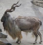 LA Zoo Markhor