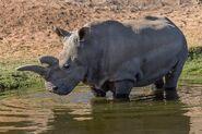 Last Hope for White Rhino