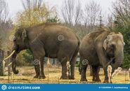 Male and Female Sumatran Elephants