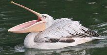 Pink-backed-pelican-620x320.jpg