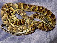 The Angry Snake