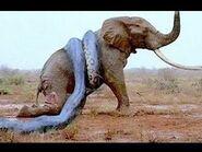 Angry Snake vs Elephant