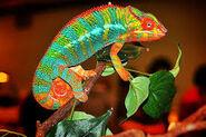 Chameleon, Panther